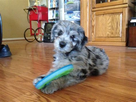 woodland havanese 1000 images about aussiedoodles on australian shepherd puppys and
