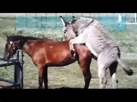 crazy horse mates cow animals mating horse mating donkey mating funny horse