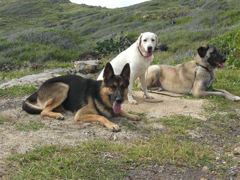 anatolian shepherd puppies anatolian shepherd dogs photo and wallpaper beautiful anatolian shepherd dogs