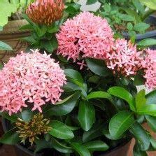 Tanaman Hias Bunga Geranium Pink 1000 images about tanaman hias bunga on