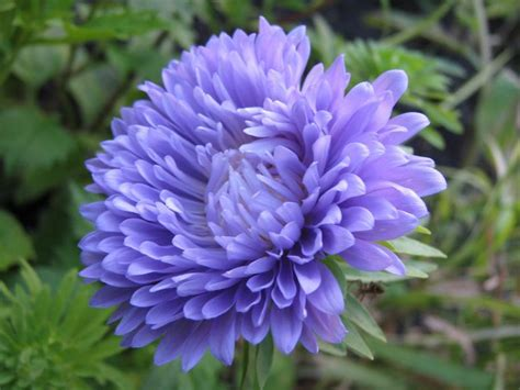 Sulap Five In One Flower fluffy light purple aster with large petals wallpaper floral ideas aster
