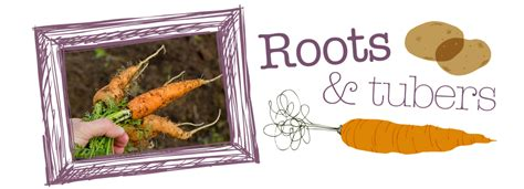 roots and tubers vegetables root vegetable supplier potato supply carrot