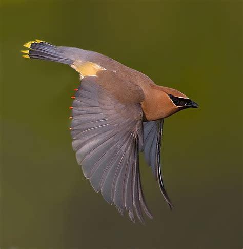 cedar waxwings sleek and handsome birdnote