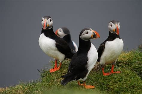 puffins alaska favorite places spaces pinterest