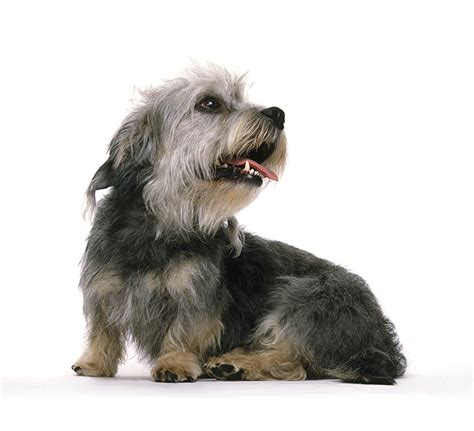 puppy dandie dinmont terrier puppy for your birthday dandie dinmont terrier