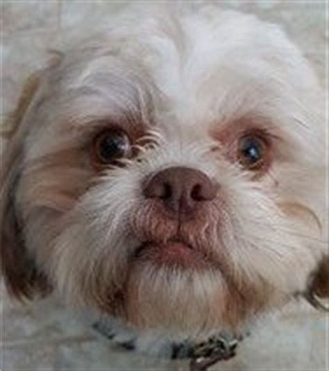 liver nose shih tzu liver colored shih tzu dogs facts and photos
