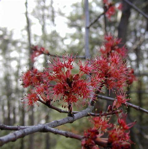 flowering maple trees wildeherb