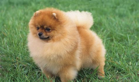 pomeranian expectancy pomeranian breed information