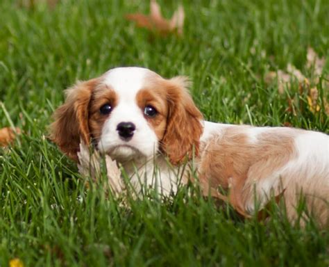 king charles cavalier puppies for sale in pa cavalier king charles spaniel puppies for sale auto design tech