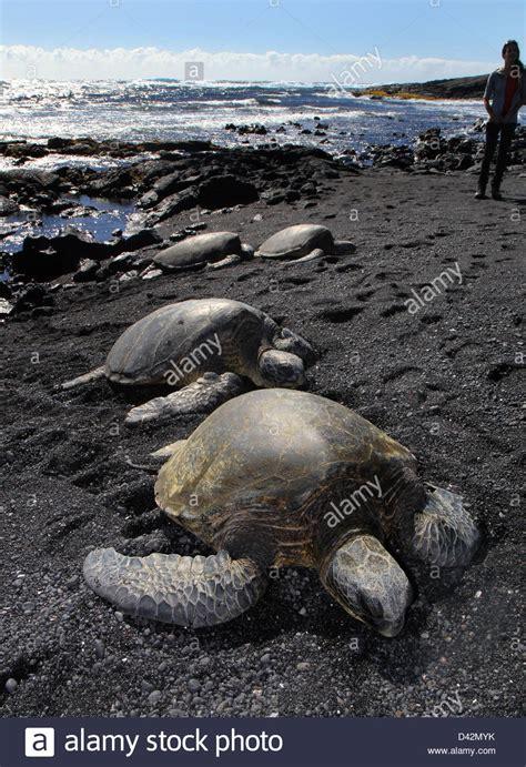 black sand beach big island green sea turtle basking on black sand beach hawaii the