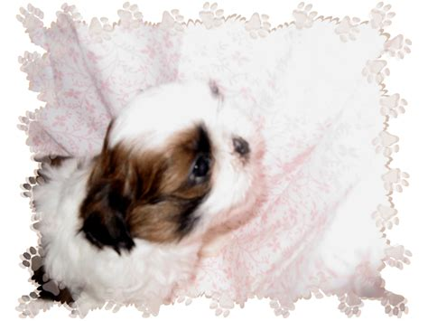 shih tzu puppies for sale in raleigh nc shih tzu puppies for sale breeder nc