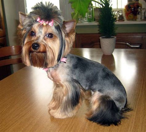 hair cut for tea cup yorkies yorkie grooming styles styloss com