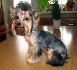 yorkie haircuts explore yorkie haircuts pictures and select the best style for your pet