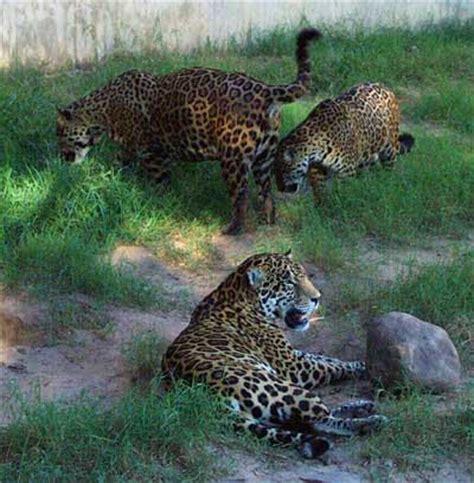 south american jaguar facts jaguars habitat