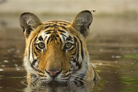 Animal Indian endangered animals of india with pictures