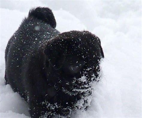 black pug checks the 25 best black pug ideas on black pug puppy black pug puppies and pug