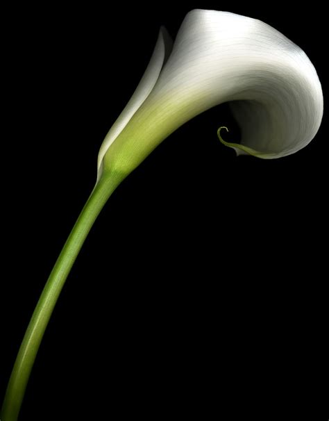 flowers calla lily