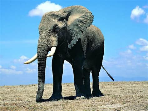 wallpapers: Elephant Wallpapers