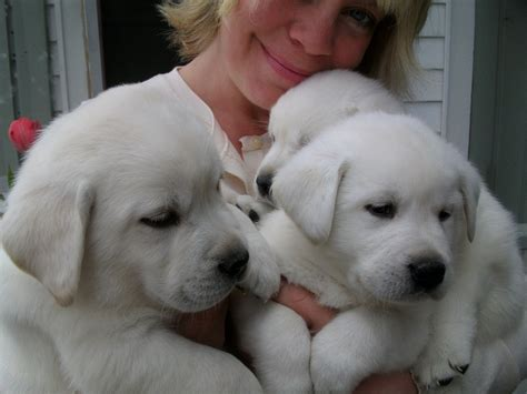 labrador retriever puppies mn white labrador retriever and white labrador retrievers puppies snow white