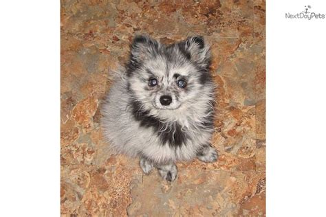 pomeranian breeders in washington state teacup pomeranian puppies washington state breeds picture