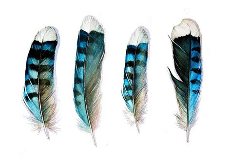 blue jay feather tattoo four blue feathers card