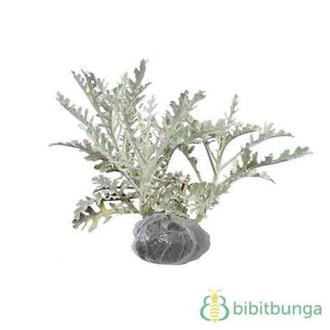 tanaman putri salju dusty miller bibitbunga