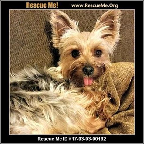 california yorkie rescue california yorkie rescue adoptions rescueme org