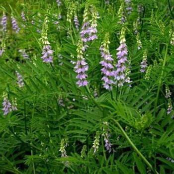 Obat Penyembuh Batuk Kronis 10 tanaman obat herbal untuk radang tenggorokan kronis