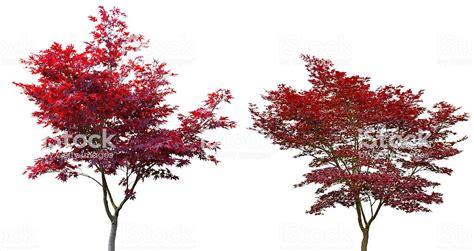 Roter Japanischer Ahorn 313 by Roter Japanischer Ahorn Roter F Cherahorn Edler Strauch F