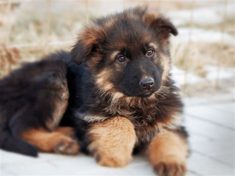 fluffy german shepherd puppy fluffy german shepherd puppy wallpapers and images wallpapers pictures photos