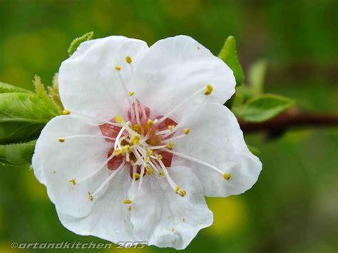 flower pic apricot flower artandkitchen