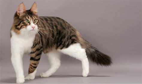 Kaos 3d Kucing Cat All Size turkish angora cat info personality kittens pictures
