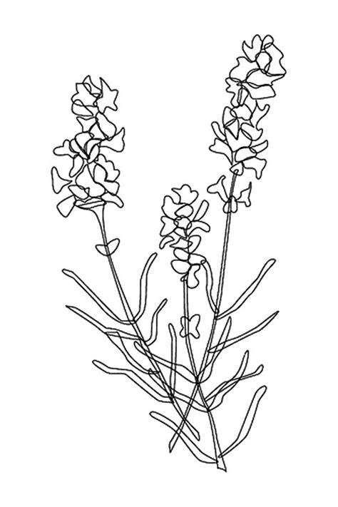 lavender flower coloring page lavender flower graphic art black white stock vector