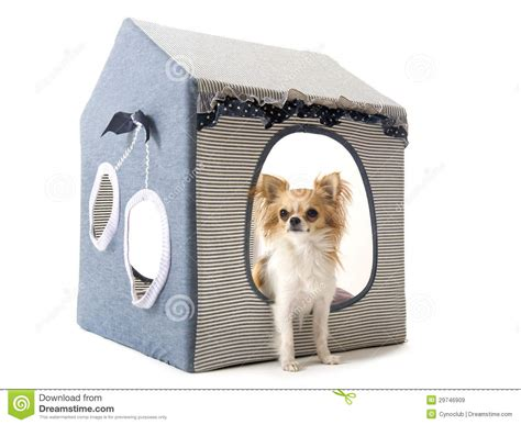 chihuahua dog house chihuahua in house dog royalty free stock images image