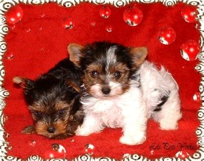 biewer terrier vs parti yorkie 87 best images about biewer terrier on terrier puppies show and yorkie