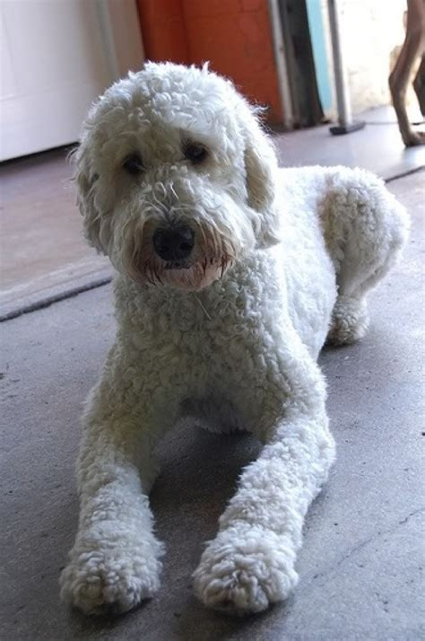 doodle hair styles 25 best ideas about goldendoodle grooming on