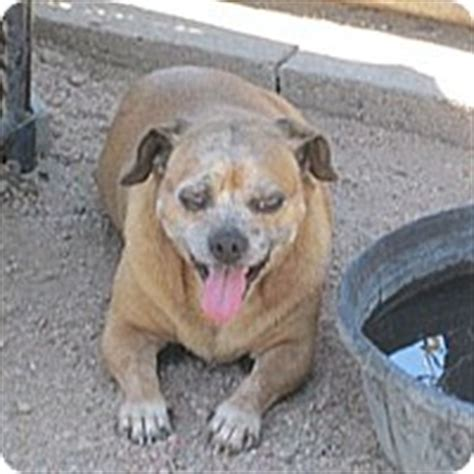 pug rescue kansas city dodge city ks pug dachshund mix meet baby a for adoption