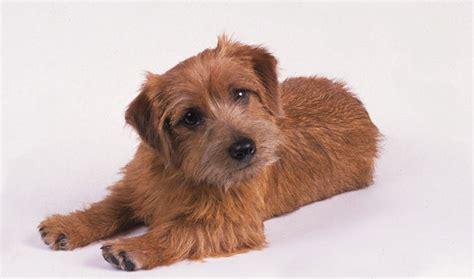 pics of long hair dark browm terriers norfolk terrier breed information