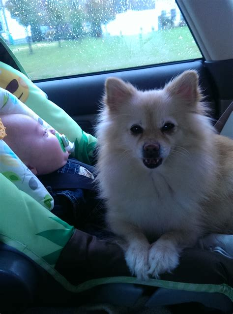 pomeranian shelter near me a pomeranian rescue story maggie the