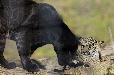 el jaguar la pantera americana taringa