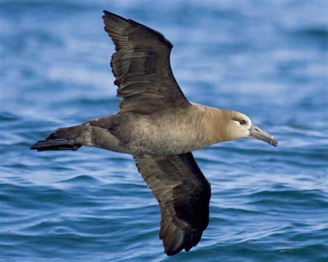 black footed albatross audubon field guide