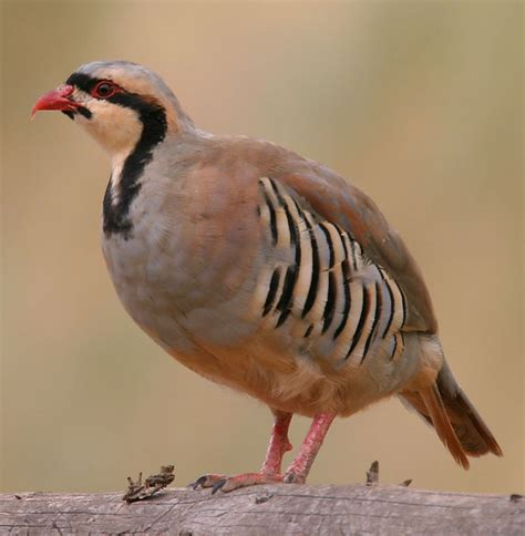 buy chukar game birds for sale in kansas kansas game birds