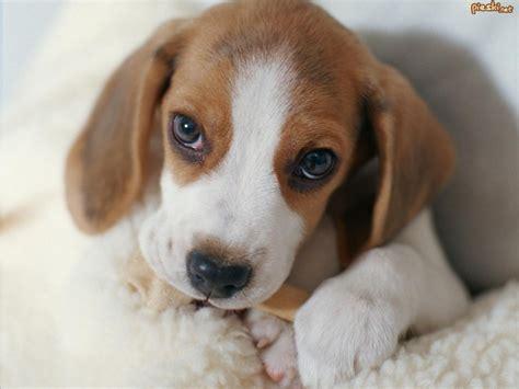 Best Home Ideas Net Beagle Pictures Photograph Pies Szczeniak Beagle Pyszczek