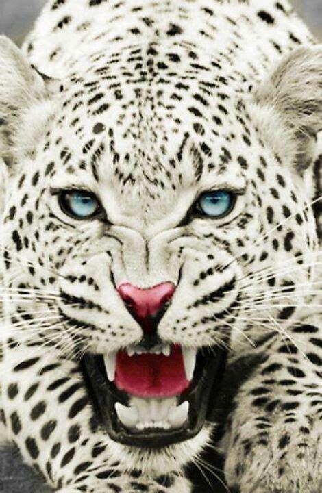 imagenes de jaguar blanco white jaguars black jaguars pinterest jaguar macro