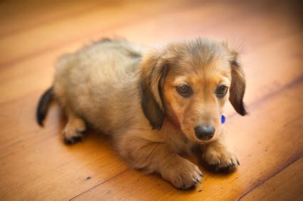 things to get for a new puppy five things to consider before getting a new familypet