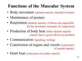 what are the functions of the muscular system www
