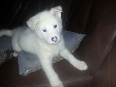 alusky puppies for sale amazing alusky pups malamute x husky st austell cornwall pets4homes