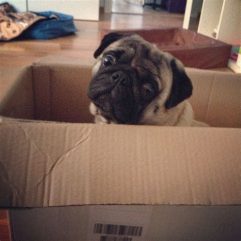 pug box pug in a box about pugs mops