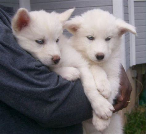 white wolf puppies white wolf pups with blue wolves photo animals canine 4