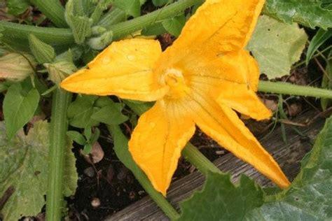 coltivazione zucchine in vaso zucchine in vaso ortaggi come coltivare le zucchine in